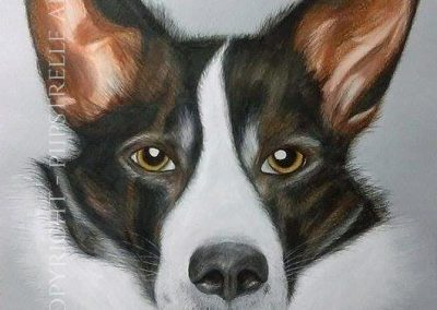 Blaze - Border Collie Cross Drawn with Caran D'Ache Prismalo Pencils