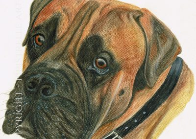 Duke English Bull Mastiff Drawn with Caran D'Ache Prismalo Pencils