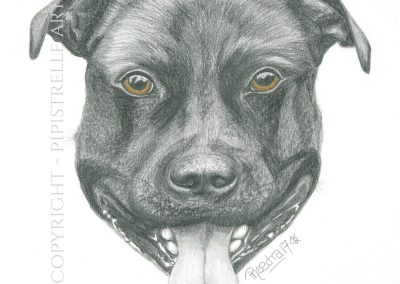 Hector - Staffie Drawn with Caran D'Ache Graphite Pencils