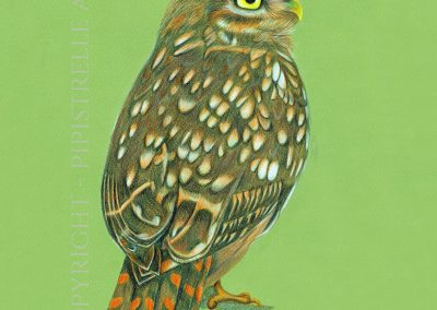 Little Owl Drawn with Caran D'Ache Prismalo and Derwent Studio Pencils