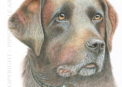 Raffy Brown Labrador Drawn in Polychromos Pencils