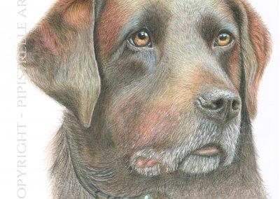 Raffy Brown Labrador