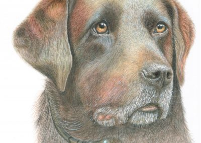Raffy, Brown Labrador Colour Pencil