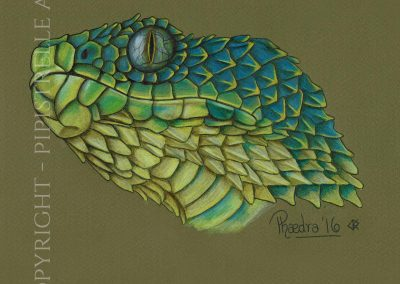 Spiney Bush Viper Drawn in Derwent Studio Pencils