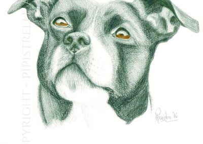 Roxy - Staffie Caran D'Ache Graphite - eyes are drawn with polychromos pencils